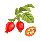 Хворостина розового бедра с листьями, ягодами и семенами Стоковые Фотографии RF