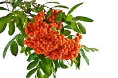 Хворостина рябины с зрелыми красными ягодами на белой предпосылке Стоковые Изображения