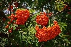 Хворостина рябины с зрелыми красными ягодами на дереве Стоковое Фото
