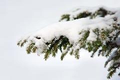 хворостина снежка елевая Стоковая Фотография RF