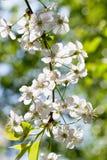 Хворостина с белыми цветениями весны Стоковая Фотография