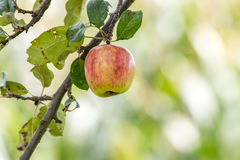 хворостина яблока Стоковые Фотографии RF