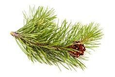 Хворостина Fir-tree Стоковые Изображения RF