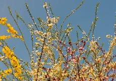 хворостины весны бутонов ветвей Стоковая Фотография RF