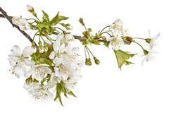 Хворостины вишни с белыми цветками на белой предпосылке Стоковое Фото