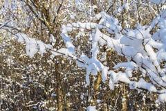 Хворостины дерева покрытые изморози и снега на предпосылке леса зимы в снеге Стоковое Изображение RF