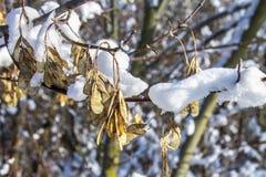 Хворостины дерева покрытые изморози и снега на предпосылке леса зимы в снеге Стоковое фото RF