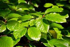 Хворостины и листья бука весны чащи Стоковые Изображения