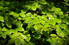 Хворостины и листья каштана бука весны чащи Стоковые Изображения