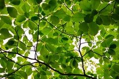 Хворостины и листья каштана бука весны чащи Стоковая Фотография RF
