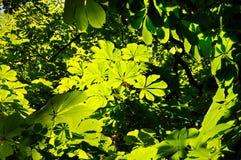 Хворостины и листья каштана весны чащи Стоковое Изображение