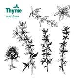 Хворостины, листья и цветки тимиана vector иллюстрация нарисованная рукой Стоковое фото RF