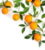 Хворостины с апельсинами стоковая фотография
