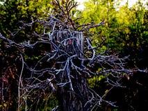 Хвостовик Armitage Стоковые Фотографии RF