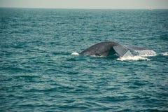 Хвостовой плавник капания синего кита, Индийский океан Предпосылка природы живой природы Туристское впечатление Перемещение прикл стоковое изображение