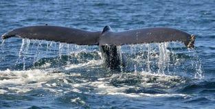 Хвостовой плавник могущественных novaeangliae Megaptera горбатого кита Стоковое Изображение