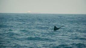 Хвостовой плавник синего кита в Индийском океане Природа живой природы Баржа на предпосылке Перемещение приключения, туристическа стоковое фото