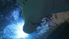 Хвостоколовый в аквариуме Хвостоколовый крупного плана через окно аквариума сток-видео