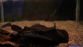 Хвостоколовый рыб в аквариуме сток-видео