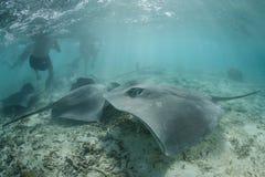Хвостоколовые Tahitian стоковые изображения rf