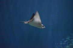 Хвостоколовый при короткое жало двигая вдоль Underwater Стоковое Изображение
