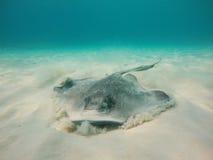 Хвостоколовый Grand Cayman Стоковая Фотография