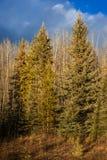 Хвоя и лес Aspen под голубым небом стоковая фотография