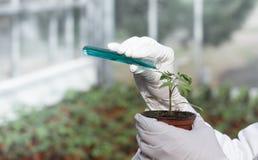 Химикаты биолога лить в баке с ростком Стоковые Изображения RF