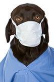 хирург labrador шоколада Стоковая Фотография