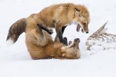 хитрите красный снежок стоковые фотографии rf