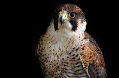 Хищная птица сокола Стоковые Изображения