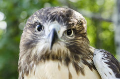 Хищная птица хищника, ювенильный красный цвет замкнула профиль хоука Стоковое фото RF