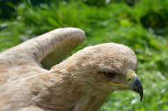 Хищная птица Стоковое Фото