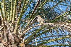 Хищная птица Kestrel стоковая фотография