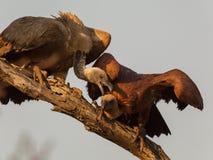 Хищники воюя на ветви стоковое изображение rf