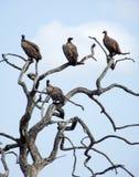 Хищники накидки в мертвом дереве стоковые фото