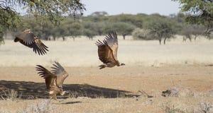 Хищники подпертые белизной принимая полет Стоковое Фото