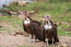 Хищники подпертые белизной (africanus) Gyps Южная Африка Стоковые Фото