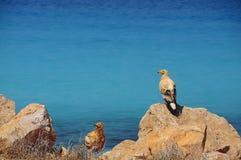 Хищники птицы моря Стоковое фото RF