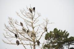 Хищники roosting в мертвом дереве Стоковая Фотография RF