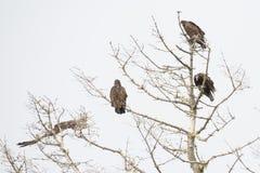 Хищники roosting в мертвом дереве Стоковое Фото