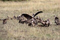 хищники ruppell s griffon Стоковая Фотография