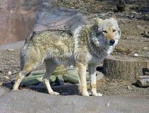Хищник волка Стоковое Фото
