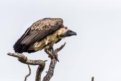 Хищник в дереве Стоковые Фотографии RF