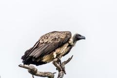 Хищник в дереве Стоковое Изображение RF