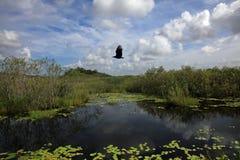 Хищник летает над озером в национальном парке болотистых низменностей, FL стоковая фотография