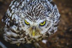 Хищник, милый маленький сыч, клюв серого цвета и желтого цвета и белое feathe Стоковая Фотография RF
