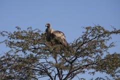 Хищник подпертый белизной Roosting на терновом Treetop Стоковые Изображения