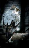 Хищник птицы египетский Стоковое Фото