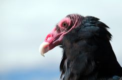 Хищник Турции или канюк Турции Стоковое Изображение